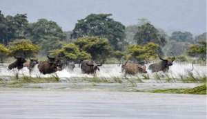 17-rare-one-horned-rhinos-killed-by-floods-in-india_kuwait